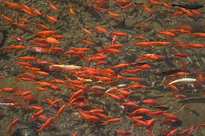 Goldfish Carassius Auratus Swimming Poster by Panoramic Images