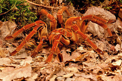 Goliath Bird-eater Spider, Theraphosa Poster