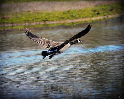 Goose In Flight 2 Poster by Jai Johnson