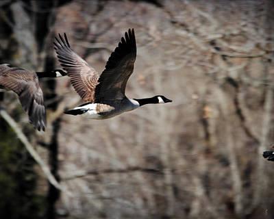 Goose In Flight 3 Poster by Jai Johnson