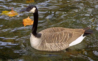 Goose On The Water Poster