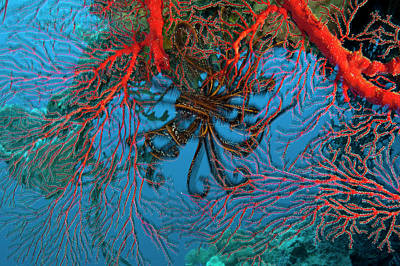 Gorgonian Coral In Kimbe Bay Poster by David Doubilet