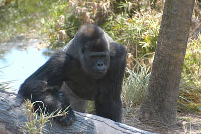 Poster featuring the photograph Gorilla 01 by Donald Williams
