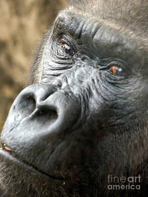 Gorilla Pic Poster