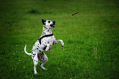 Gotta It. Kokkie. Dalmation Dog Poster by Jenny Rainbow