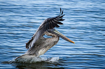 Poster featuring the photograph Graceful Landing by Gregg Southard