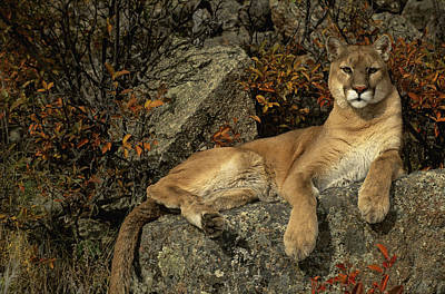 Grambo Mm-00003-302, Adult Male Cougar Poster by Rebecca Grambo