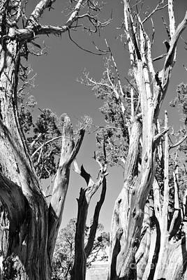 Grand Canyon Trees Poster