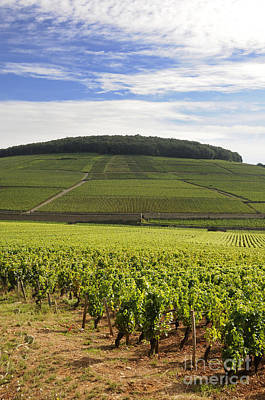 Grand Cru And Premier Cru Vineyards Of Aloxe Corton. Cote De Beaune. Burgundy. France. Europe. Poster