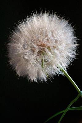 Poster featuring the photograph Grand Mountain Dandelion by Kevin Bone