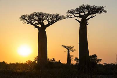Grandidiers Baobabs At Sunset Madagascar Poster by Konrad Wothe