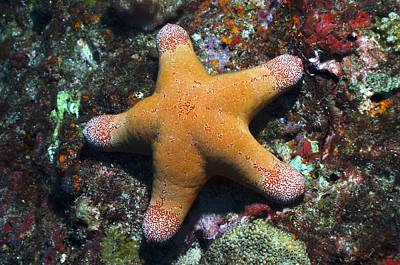 Granulated Seastar Poster by Science Photo Library