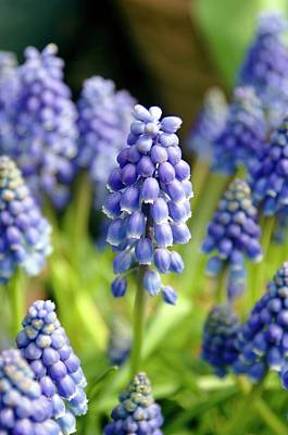 Grape Hyacinth (muscari Armeniacum) Poster