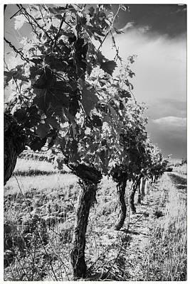 Grape Vines In Mono Poster by Georgia Fowler