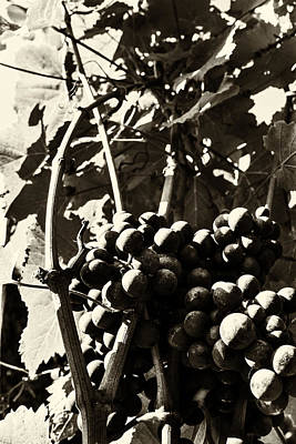 Grapes In Sepia Poster by Georgia Fowler