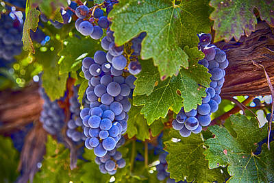 Grapes On The Vine Poster by Rosanne Nitti