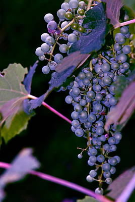 Grapes Purple And Blue Poster