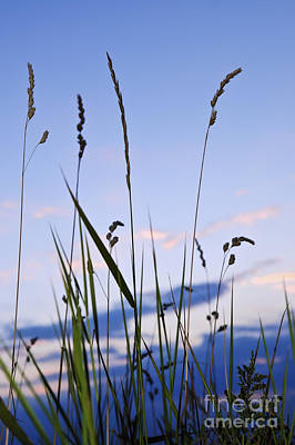 Grass At Sunset Poster by Elena Elisseeva