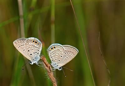 Grass Jewel Butterflies Poster by K Jayaram
