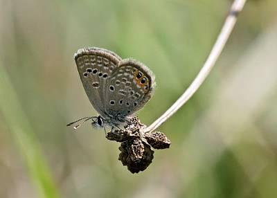 Grass Jewel Butterfly Poster