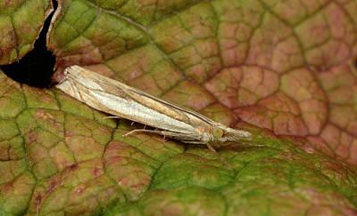 Grass-veneer Moth Poster by Nigel Downer