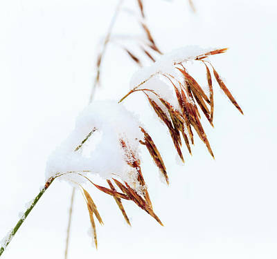 Grasses, First Snow Of October Poster