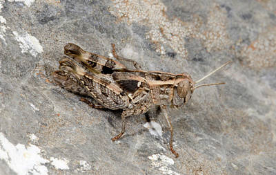 Grasshopper Calliptamus Barbarus Juvenile Poster by Nigel Downer