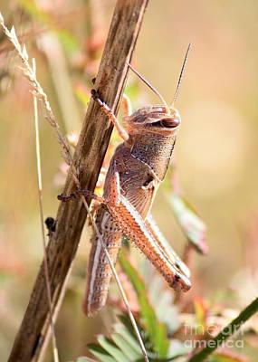 Grasshopper In The Marsh Poster