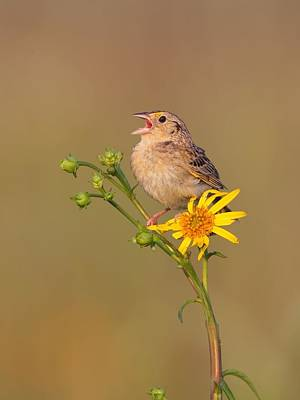 Grasshopper Sparrow Singing Poster by Daniel Behm