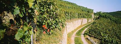 Gravel Road Passing Through Vineyards Poster