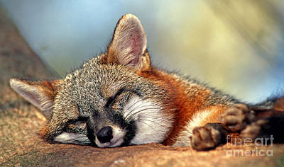 Gray Fox Poster