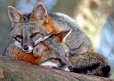Gray Foxes Poster