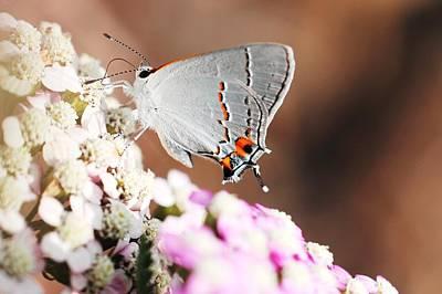 Gray Hairstreak Butterfly Poster by Lorri Crossno
