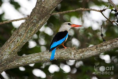 Gray-headed Kingfisher Poster by Gregory G. Dimijian, M.D.