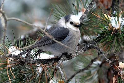 Gray Jay On A Snowy Pine Poster by Marilyn Burton