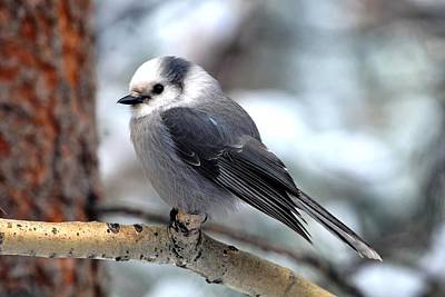 Gray Jay On Aspen Poster by Marilyn Burton