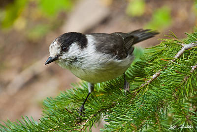 Gray Jay On Fir Tree Poster by Jeff Goulden