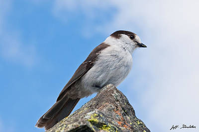 Gray Jay With Blue Sky Background Poster