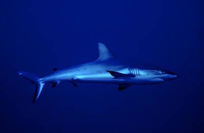 Gray Reef Shark Poster