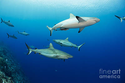 Gray Reef Sharks _carcharhinus Amblyrhynchos_, Fill The Water Column At A Dive Site Named Vertigo, Off The Island Of Yap_ Yap, Micronesia Poster by Dave Fleetham