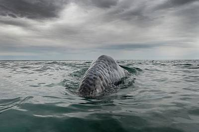 Gray Whale Breaching Poster by Christopher Swann