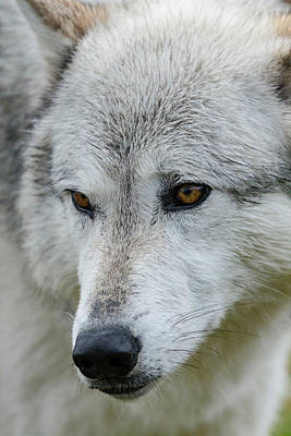 Gray Wolf, Canis Lupus, West Poster