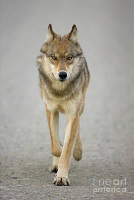 Gray Wolf Denali National Park Alaska Poster