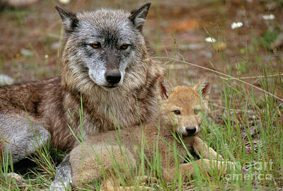 Gray Wolf With Pup Poster by Art Wolfe