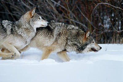 Gray Wolves (canis Lupis Poster by Richard and Susan Day