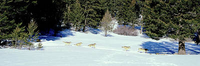 Gray Wolves Canis Lupus Running Poster by Panoramic Images