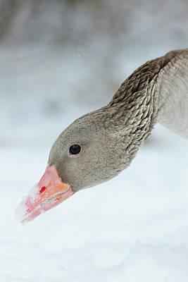 Graylag Goose (anser Anser Poster by Martin Zwick