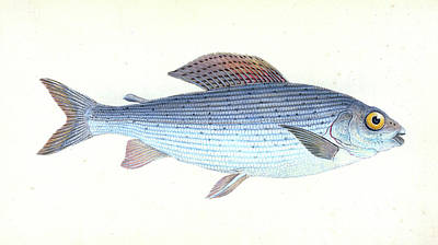 Grayling, Salmo  Thymallus, British Fishes Poster by Artokoloro