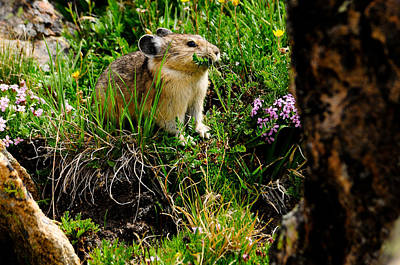Grazing Pika Poster