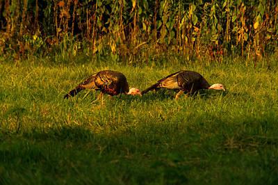Grazing Wild Turkeys Poster